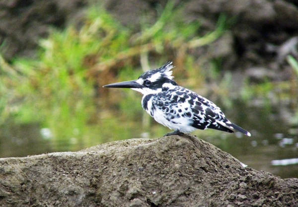 Photograph - Pied Kingfisher by Tony Murtagh