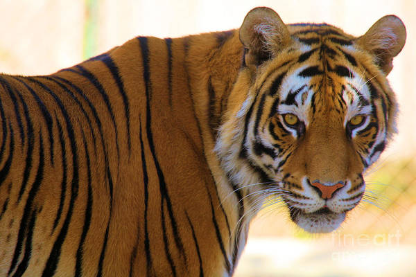 Photograph - Piercing Bengal Eyes by Adam Jewell