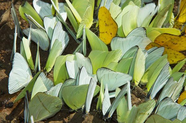 Photograph - Pierid Butterflies Sip Minerals Yasuni by Pete  Oxford