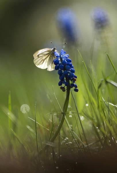 Wall Art - Photograph - Pieris Napi Butterfly On A Blue Flower by Jaroslaw Blaminsky