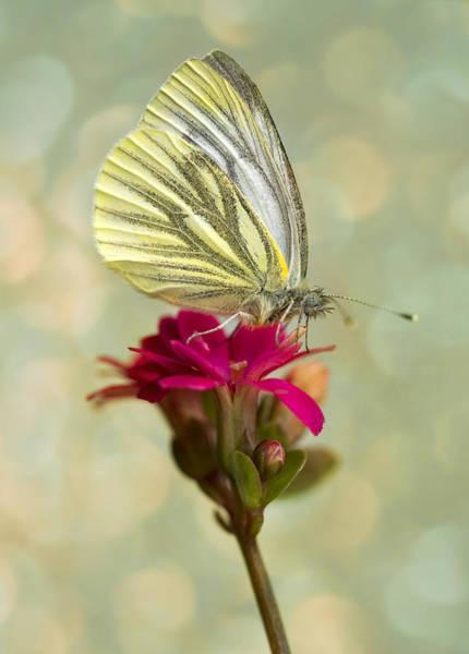 Wall Art - Photograph - Pieris Napi Butterfly On A Small Red Flower by Jaroslaw Blaminsky