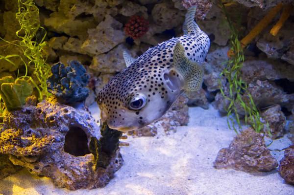 Digital Art - Puffer Fish Swimming by Chris Flees