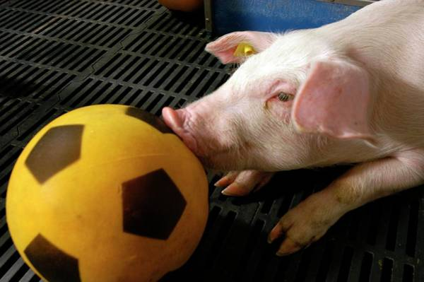 Wall Art - Photograph - Pig Football Therapy by Thierry Berrod, Mona Lisa Production/ Science Photo Library