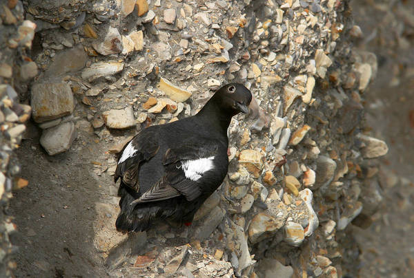 Wall Art - Photograph - Pigeon Guillemot by Richard Hansen