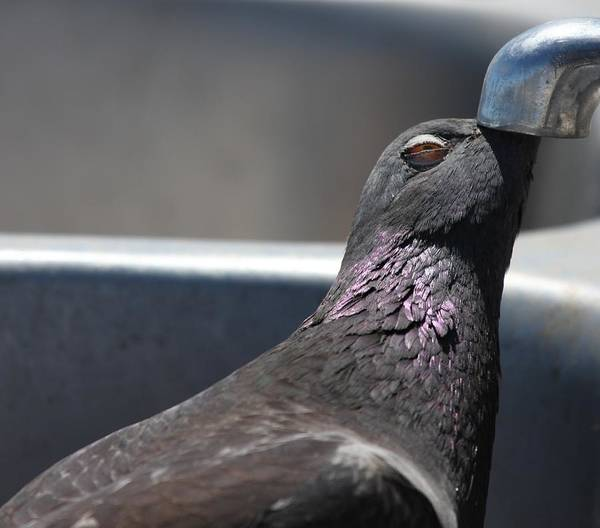Photograph - Pigeon In Ecstasy  by Nathan Rupert