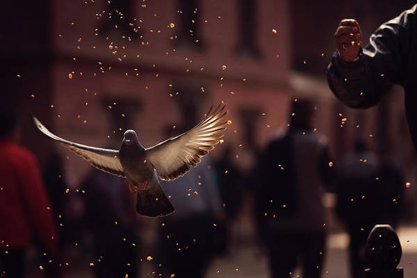 Flying Bird Photograph - Pigeons In Patan Square, Kathmandu-nepal by Dan Mirica