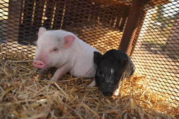 Petting Zoo Photograph - Piglets - Pigs - Barynard Animals And Petting Zoos by Matt Plyler