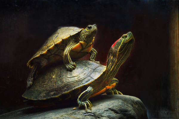 Turtle Photograph - Piggybacking by Susan Capuano