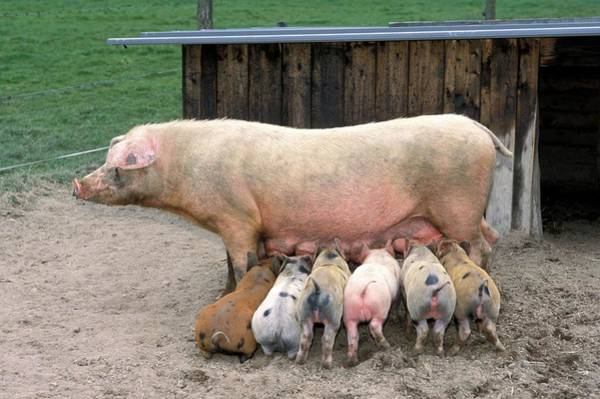 Sow Photograph - Piglets Suckling by Claire Deprez/reporters/science Photo Library