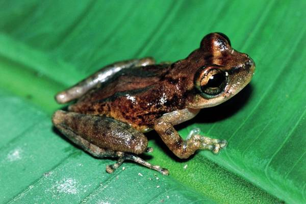 Wall Art - Photograph - Pigmy Marsupial Frog by Dr Morley Read/science Photo Library