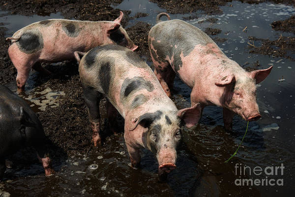 Photograph - Pigs In The Mud by Nick  Biemans