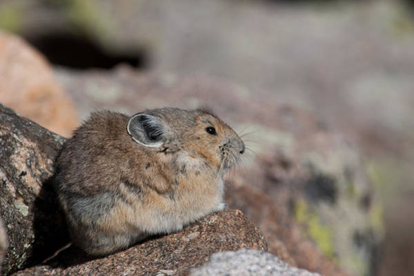 Photograph - Pika In The Sun by Cascade Colors
