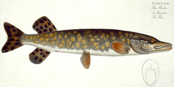 Angler Wall Art - Painting - Pike by Andreas Ludwig Kruger