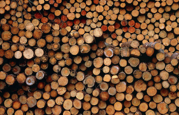Forestry Photograph - Pile Of Felled Logs by Science Photo Library