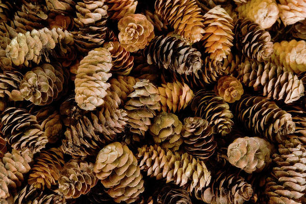 Pine Cones Photograph - Pile Of Female Pine Cones by Jaynes Gallery