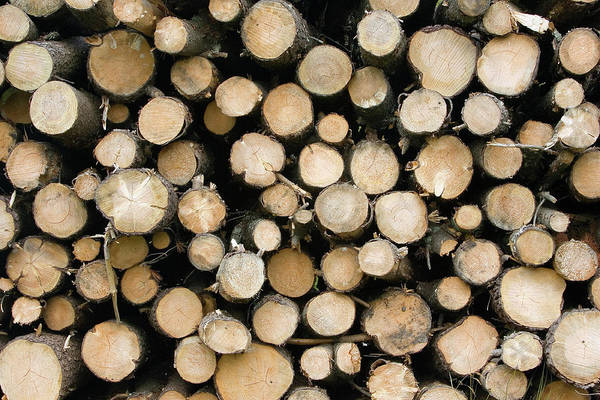 Conifer Photograph - Pile Of Logs by John Devries/science Photo Library