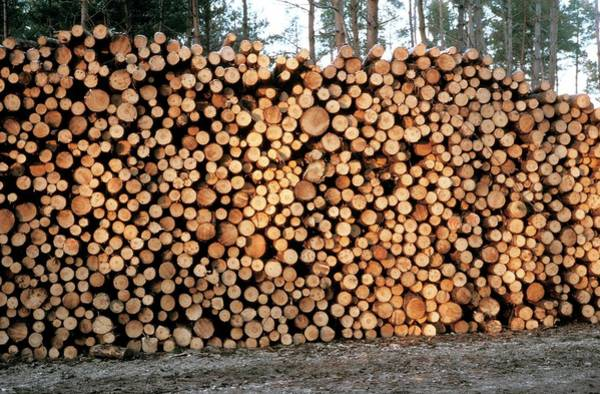 Logs Photograph - Pile Of Logs by Pascal Goetgheluck/science Photo Library