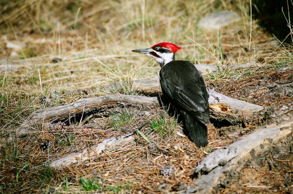 Photograph - Pileated Woodpecker Forest Floor by Roxy Hurtubise