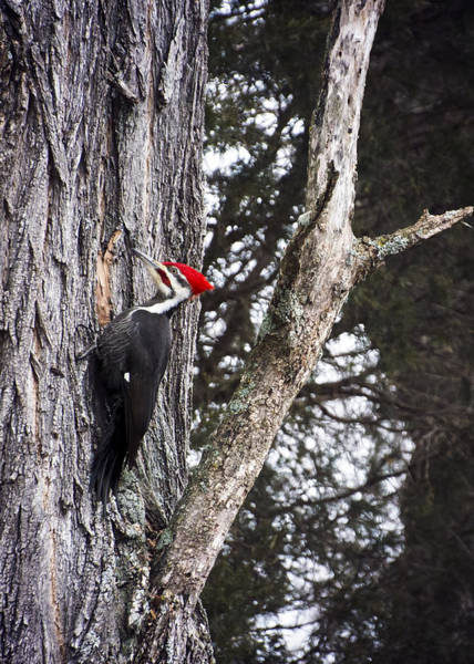 Photograph - Pileated Woodpecker  by Heather Applegate