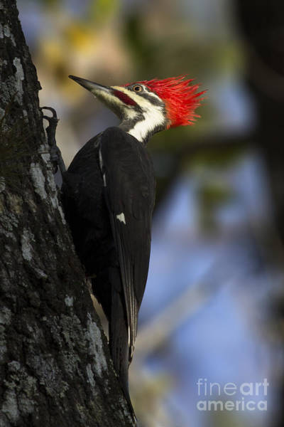 Photograph - Pileated Woodpecker by Meg Rousher
