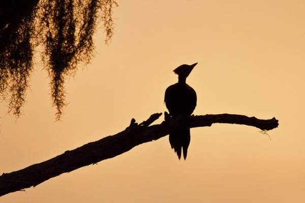 Bald Cypress Wall Art - Photograph - Piliated Woodpecker (dryocopus Pileatus by Larry Ditto