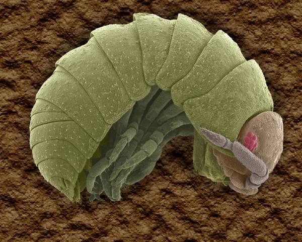 Wall Art - Photograph - Pillbug (armadillidium Vulgare) by Dennis Kunkel Microscopy/science Photo Library