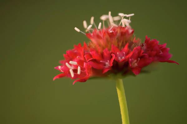 Hybrid Photograph - Pincushion Flower (scabiosa Caucasica) by Maria Mosolova/science Photo Library