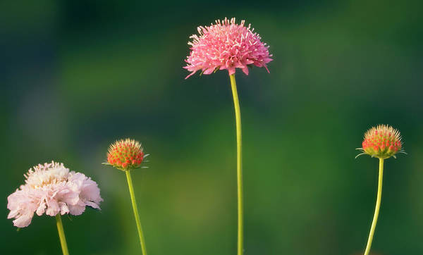 Hybrid Photograph - Pincushion Flowers (scabiosa Caucasica) by Maria Mosolova/science Photo Library