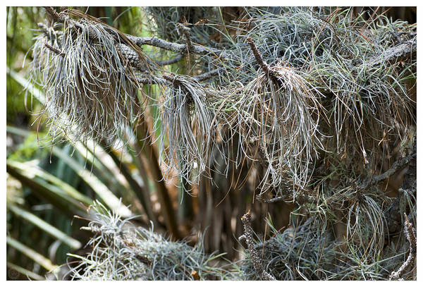 Camera Raw Photograph - Pine 0094 by Ronald Schafer