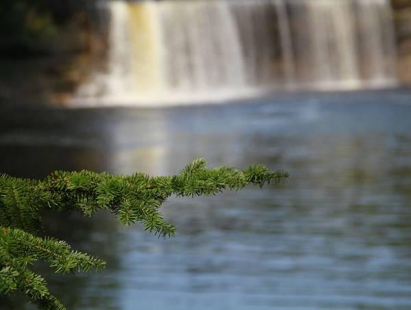Photograph - Pine At Tahquamenon Falls by Dan Sproul