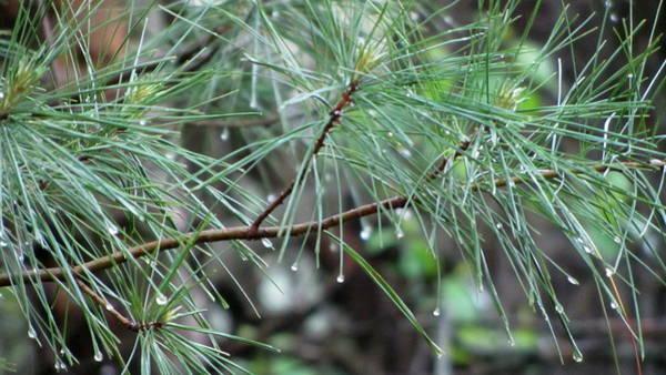 Photograph - Pine Branch In Rain 1 by Anita Burgermeister