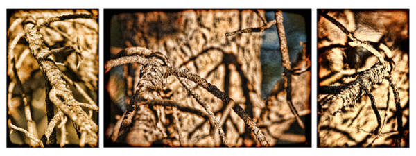 Photograph - Pine Branch Study In Three by Lincoln Rogers
