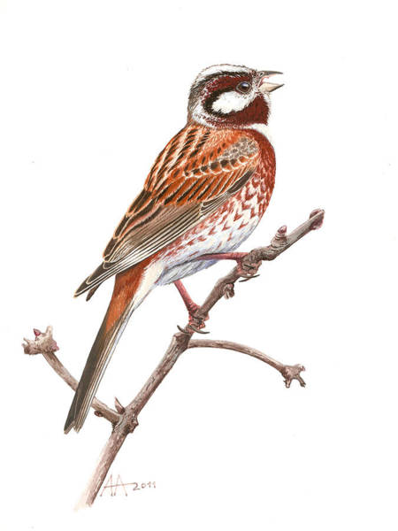 Bunting Painting - Pine Bunting by Deak Attila