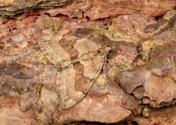 Entomological Photograph - Pine Carpet by Nigel Downer