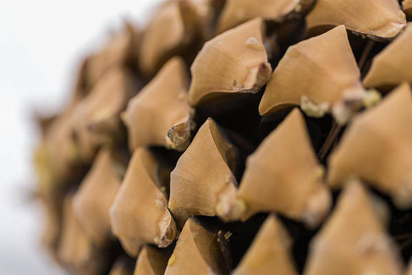 Photograph - Pine Cone Study 13 by Scott Campbell