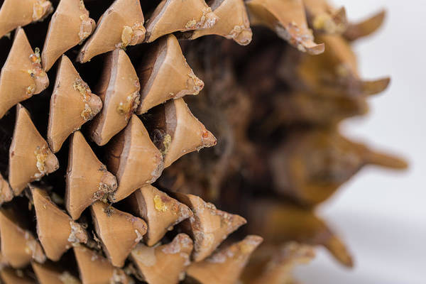Photograph - Pine Cone Study 16 by Scott Campbell
