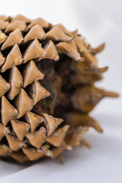 Photograph - Pine Cone Study 17 by Scott Campbell