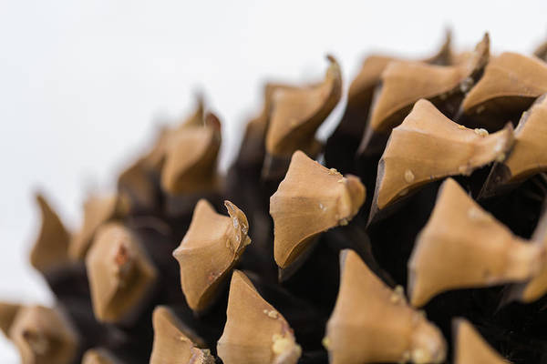 Photograph - Pine Cone Study 2 by Scott Campbell