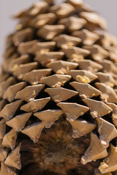 Photograph - Pine Cone Study 20 by Scott Campbell