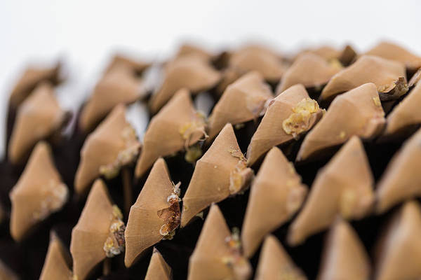 Photograph - Pine Cone Study 9 by Scott Campbell