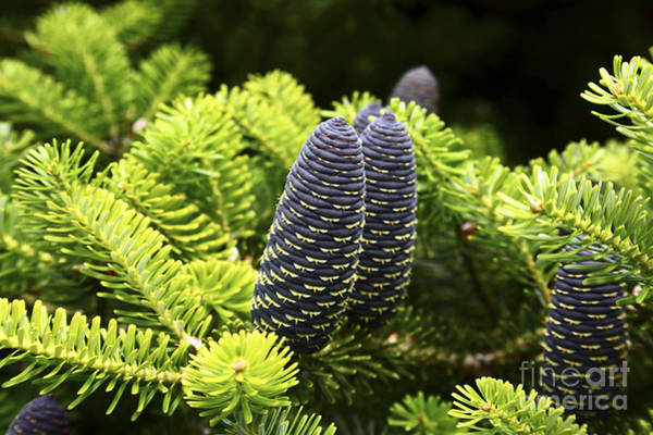 Photograph - Pine Cones by James Brunker