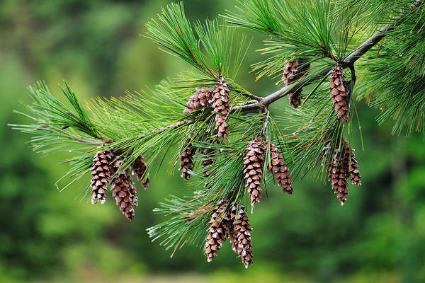Photograph - Pine Cones by John Kiss