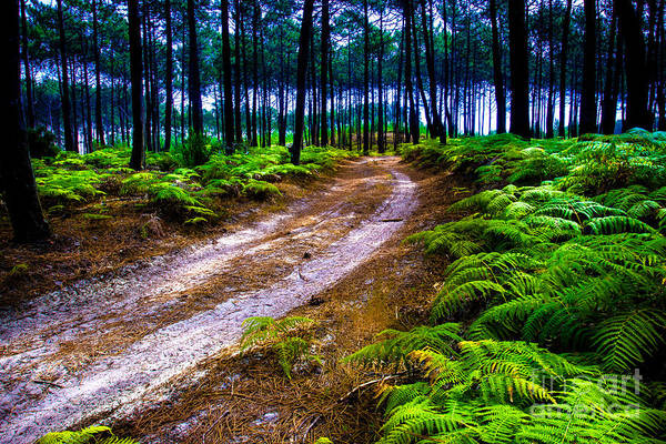 Photograph - Pine Forest by Edgar Laureano