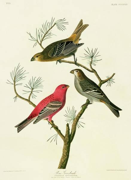 Pine Grosbeak Photograph - Pine Grosbeak Birds by Natural History Museum, London/science Photo Library