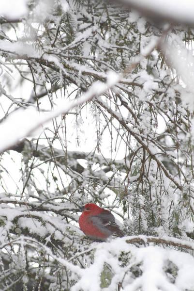 Pine Grosbeak Photograph - Pine Grosbeak On Snowy Branch Winter Sc by Randy Brandon