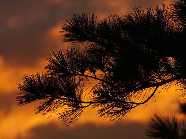 Aroostook County Photograph - Pine Needles At Sunset by Gene Cyr