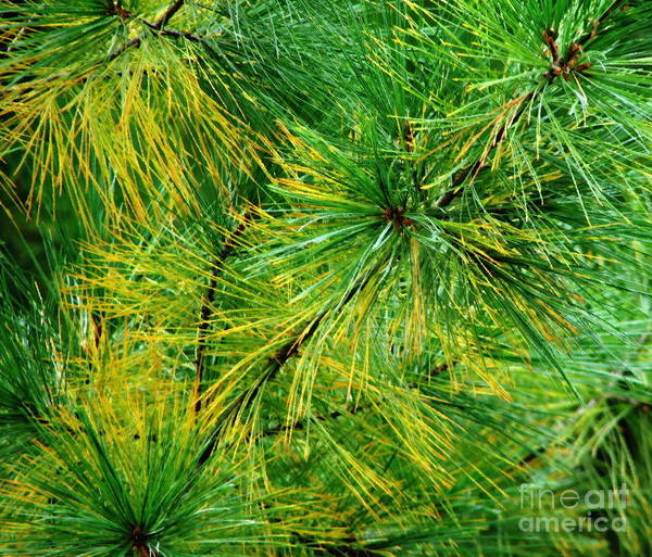 Photograph - Pine Needles Closeup With Oil Painting Effect by Rose Santuci-Sofranko