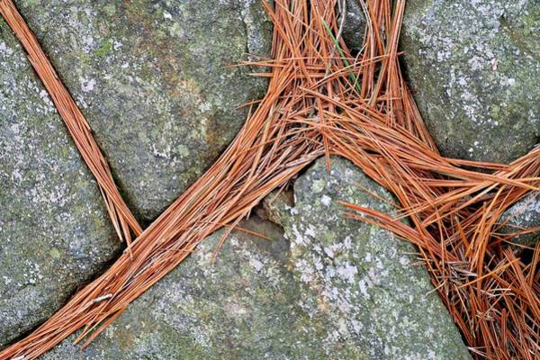 Wall Art - Photograph - Pine Needles On Granite Rocks by Michael Clutson/science Photo Library