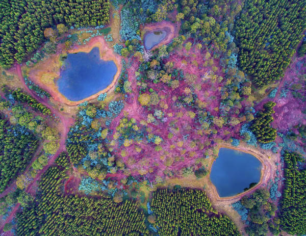 Eucalyptus Photograph - Pine Plantation by Atelier8