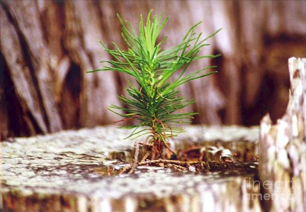 Photograph - Pine Seedling by Cynthia Marcopulos